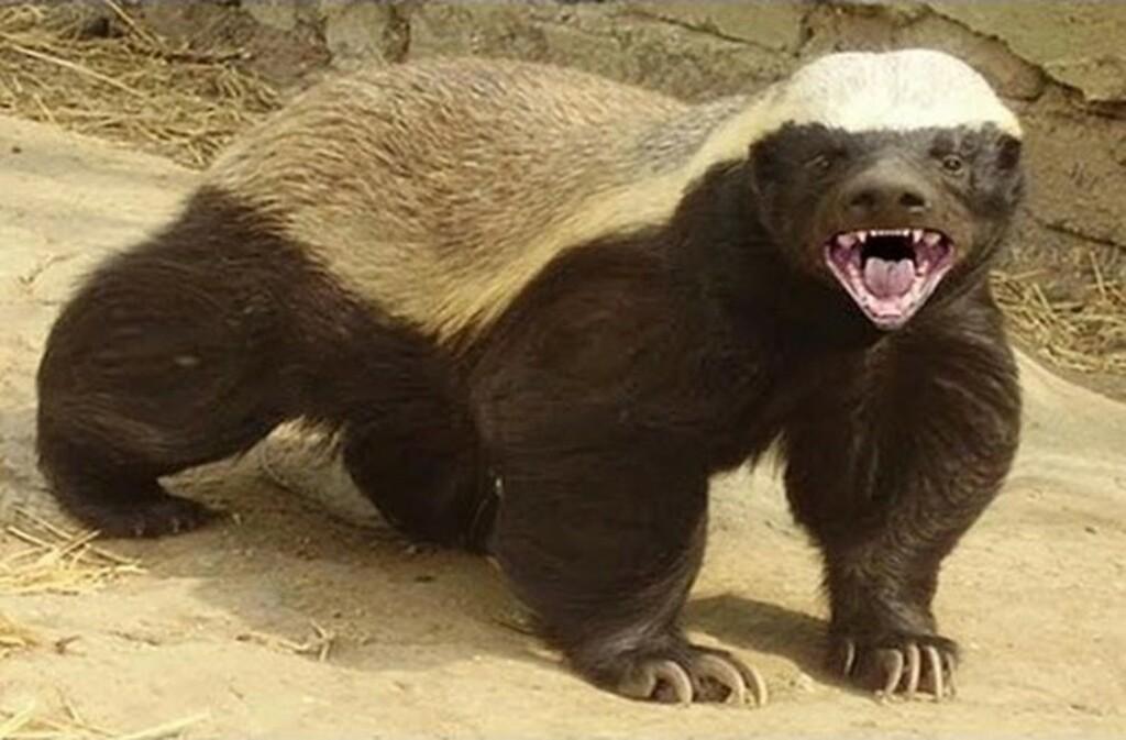 Το πιο επικίνδυνο ζώο στον κόσμο: Σκοτώνει τίγρεις, λιοντάρια, αρκούδες και τρέφεται με δηλητηριώδη φίδια! (Εικόνες - Βίντεο)