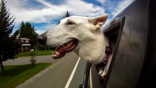 Σκυλιά στο παράθυρο του αυτοκινήτου: ο ορισμός της απόλυτης ευτυχίας!