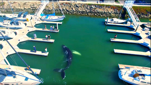 Φάλαινα μπουκάρει σε λιμανάκι κι είναι σκέτη μαγεία
